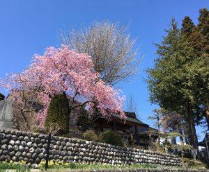 大法寺と桜